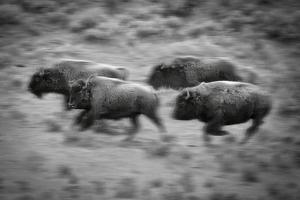 USA, Rockie Mountains, Wyoming, Yellowstone National Park, Running Bison by Christian Heeb