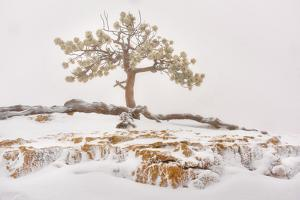 USA, Utah, Bryce Canyon National Park, Lone Tree in snow by Christian Heeb