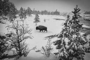 USA, Wyoming, Bison in Yellowstone National Park by Christian Heeb