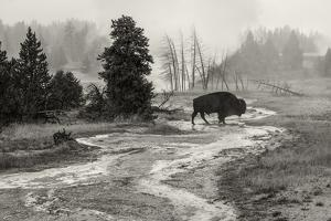 USA, Wyoming, Yellowstone National Park, Bison at Upper Geyser basin by Christian Heeb