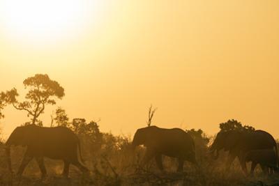 African elephant (Loxodonta Africana) at sunset, Kruger National Park, South Africa, Africa by Christian Kober