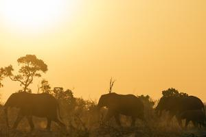 African elephant (Loxodonta Africana) at sunset, Kruger National Park, South Africa, Africa by Christian Kober