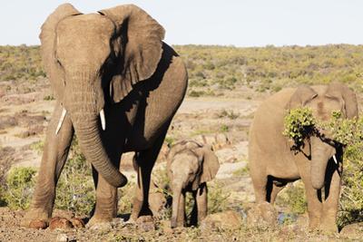 African elephant (Loxodonta Africana), Kruger National Park, South Africa, Africa by Christian Kober
