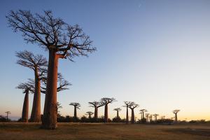Allee de Baobab (Adansonia), at sunrise, western area, Madagascar, Africa by Christian Kober