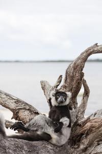 Black-and-white ruffed lemur (Varecia variegata), Lake Ampitabe, Pangalanes Lakes, Tamatave, Madaga by Christian Kober
