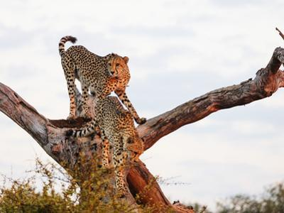 Cheetah (Acinonyx jubatus), Kruger National Park, South Africa, Africa by Christian Kober