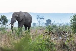 Cheetah and African elephant , Kruger Nat'l Park, South Africa, Africa by Christian Kober