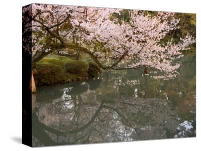 Cherry Blossom, Kenrokuen Garden, Kanazawa City, Ishigawa Prefecture, Honshu Island, Japan