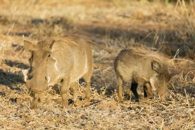 Common warthog (Phacochoerus africanus), Kruger National Park, South Africa, Africa by Christian Kober