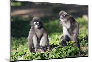 Dusky Langur Monkey (Trachypithecus Obscurus), Prachuap Kiri Khan, Thailand, Southeast Asia, Asia by Christian Kober