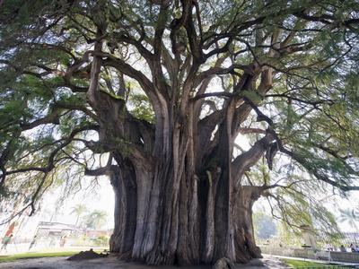 El Tule Tree, the Worlds Largest Tree By Circumference, Oaxaca State, Mexico, North America