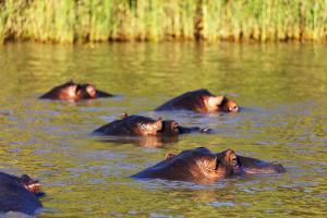 Hippo, Isimangaliso Greater St. Lucia Wetland Park, UNESCO World Heritage Site, South Africa by Christian Kober