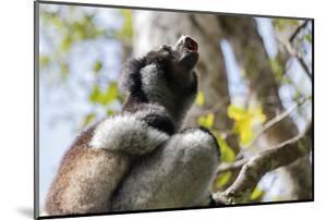 Howling Indri lemur (Indri indri), Analamazaotra Special Reserve, Andasibe, central area, Madagasca by Christian Kober