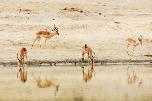 Impala (Aepyceros melampus) at a water hole, Kruger National Park, South Africa, Africa by Christian Kober