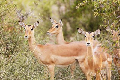 Impala (Aepyceros melampus), Kruger National Park, South Africa, Africa by Christian Kober
