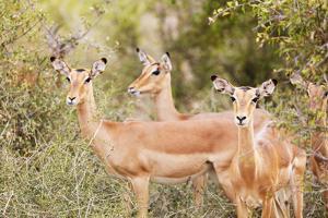 Impala (Aepyceros melampus), Kruger National Park, South Africa, Africa by Christian Kober