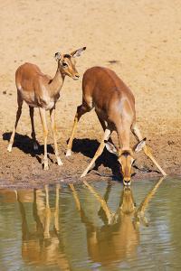 Impala (Aepyceros melampus), Mkhuze Game Reserve, Kwazulu-Natal, South Africa, Africa by Christian Kober