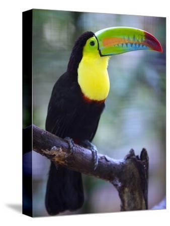 Keel-Billed Toucan (Ramphastos Sulfuratus), Summit Botanical Gardens and Zoo, Panama City, Panama