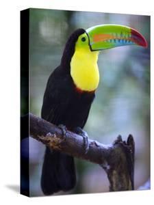 Keel-Billed Toucan (Ramphastos Sulfuratus), Summit Botanical Gardens and Zoo, Panama City, Panama by Christian Kober