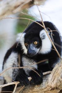 Male black-and-white ruffed lemur (Varecia variegata), Nosy Iranja, northern area, Madagascar, Afri by Christian Kober