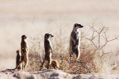 Meerkat , Kgalagadi Transfrontier Park, Kalahari, Northern Cape, South Africa, Africa by Christian Kober