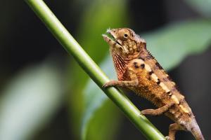 Panther chameleon (Furcifer pardalis), Ivoloina Zoological Park, Tamatave, Madagascar, Africa by Christian Kober
