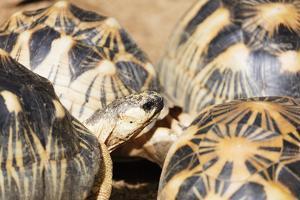 Radiated tortoise, critically endangered in the wild, Ivoloina Zoological Park, Tamatave, Madagasca by Christian Kober
