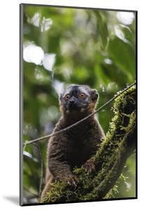 Red-fronted brown lemur (Eulemur rufifrons), Ranomafana National Park, central area, Madagascar, Af by Christian Kober