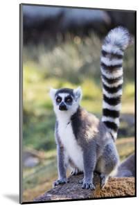 Ring tailed lemurs (Lemur catta), Anja Reserve, Ambalavao, central area, Madagascar, Africa by Christian Kober