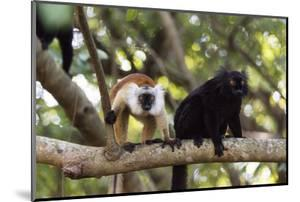 Sacred Baobab tree, male and female black lemur (Eulemur macaco), Nosy Be Island, northern area, Ma by Christian Kober