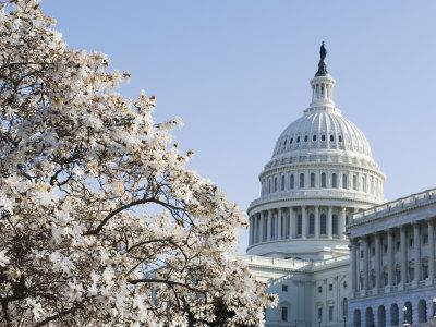 Spring Cherry Blossom, the Capitol Building, Capitol Hill, Washington D.C.