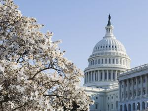 Spring Cherry Blossom, the Capitol Building, Capitol Hill, Washington D.C. by Christian Kober