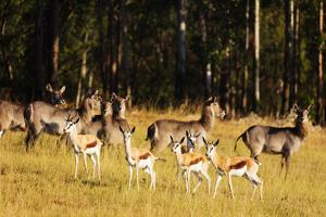 Springbok (Antidorcas marsupialis), Mlilwane Wildlife Sanctuary, Swaziland, Africa by Christian Kober