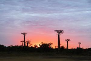 Sunrise, Allee de Baobab (Adansonia), western area, Madagascar, Africa by Christian Kober