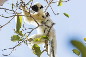 Verreaux's sifaka (Propithecus verreauxi), Tsingy du Bemaraha National Park, western area, Madagasc by Christian Kober