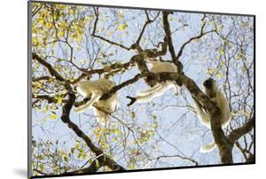 Verreaux's sifaka (Propithecus verreauxi), Zombitse-Vohibasia National Park, southern area, Madagas by Christian Kober