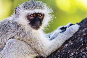 Vervet monkey , Augrabies Falls Nat'l Park, Northern Cape, South Africa, Africa by Christian Kober