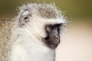 Vervet monkey (Chlorocebus pygerythrus), Kruger National Park, South Africa, Africa by Christian Kober