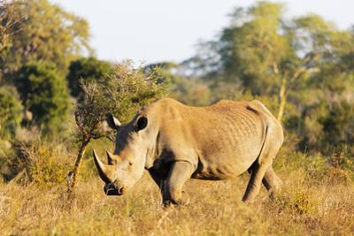 White rhino (Ceratotherium simum), Kruger National Park, South Africa, Africa by Christian Kober