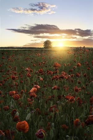 Poppy Fields of Sweden