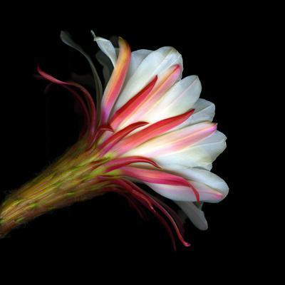 Blooming Single Cactus Flower Isolated Against Black Background