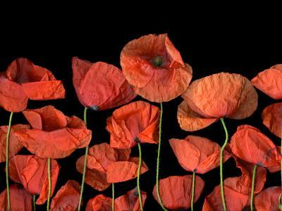 California Red Poppies Isolated Against Black Background