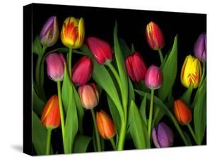 Colorful Tulips Isolated Against a Black Background by Christian Slanec