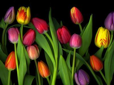 Colorful Tulips Isolated Against a Black Background