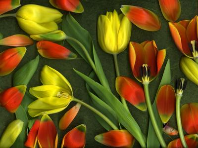 Colorful Tulips Isolated Against Green Background