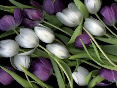 Medley of Beautiful Fresh White and Purple Tulips