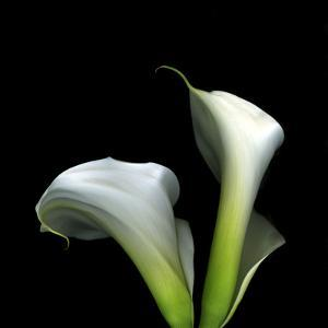 Two Calla Lilies Against a Dramatic Square Black Background by Christian Slanec