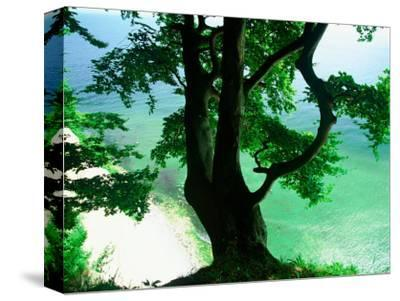 Deep Green Tree and Green-tinted Sea, Jasmund National Park, Island of Ruegen, Germany
