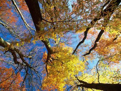 Forest Canopy in Autumn, Jasmund National Park, Island of Ruegen, Germany