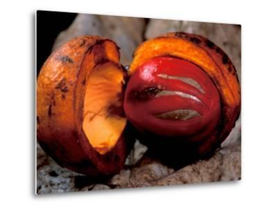Fruit of Wild Nutmeg, Barro Colorado Island, Panama